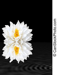 White Beauty - Abstract of a white lotus water lily with...