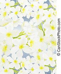 White Beauty Plumeria frangipanis o