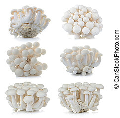 White beech mushrooms, Shimeji mushroom, Edible mushroom isolated on white background