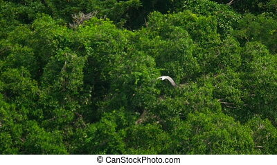 White-bellied sea-eagle -Haliaeetus leucogaster- flying over the coast of the Koh Miang island, Similan Islands National Park, slow motion