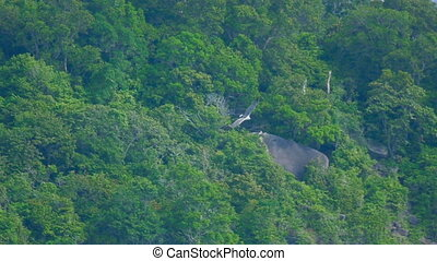 White-bellied sea-eagle (Haliaeetus leucogaster) flying over the coast of the Koh Miang island, Similan Islands National Park, slow motion