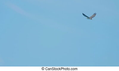 White-bellied sea-eagle (Haliaeetus leucogaster) flying over the coast of the Koh Miang island, Similan Islands National Park