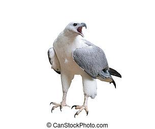 White bellied sea eagle isolated