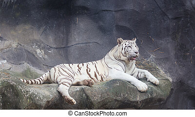 White Bengal Tiger lay down on the cliff