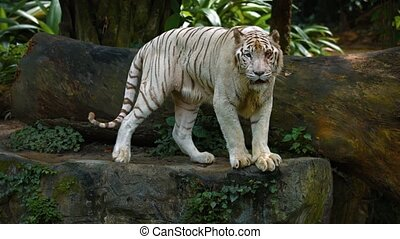 Mature, white, bengal tiger, pacing nervously on a big rock in his habitat enclosure at a popular, public zoo. UltraHD video