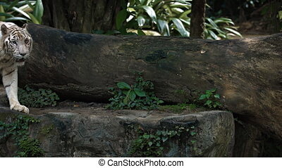 White Bengal Tiger Pacing on a Rock. FullHD video - Mature,...