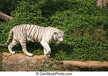 White bengal tiger resting and walking - White asian bengal...