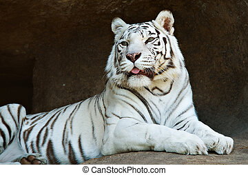 White Bengal tiger resting on a rock