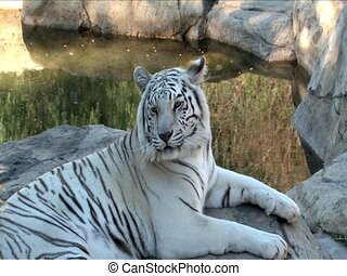 White Bengal Tiger - Close up of White Bengal Tiger