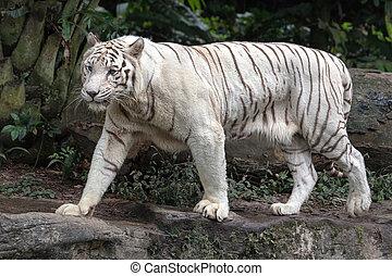 White Bengal Tiger Walking