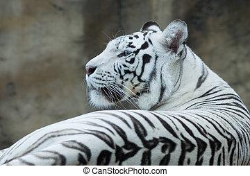 White bengal tiger resting in rocks
