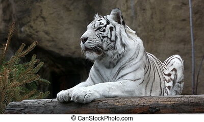 White Bengalese tiger close up