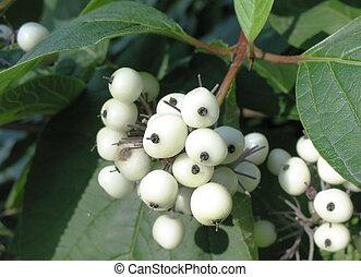 White berries of Cornus Alba