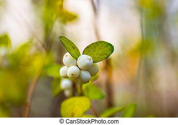 white berries Symphoricarpos albus laevigatus
