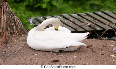 white bewick Swan preening its feathers at lake