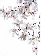 White big flowers of the white magnolia