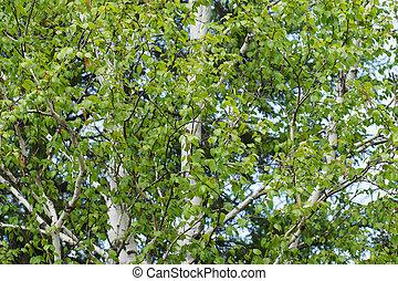 White birch allergen