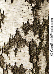 White birch bark texture