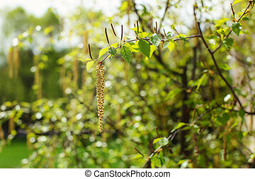 White birch (Betula pubescens) flowers with blurred green...