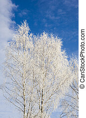white birch branches
