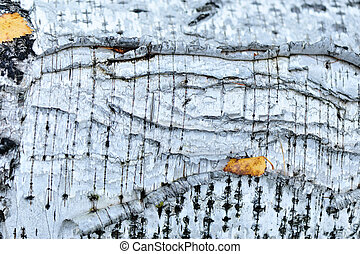 white birch tree texture