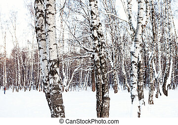 white birch trees in snow-covered forest