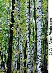 white birch trees in the autumn forest