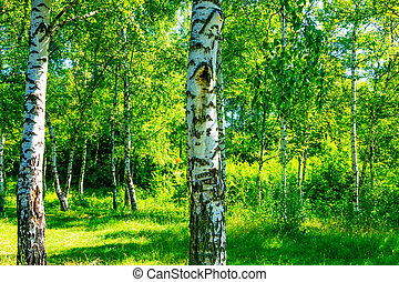 White birch trees in the forest