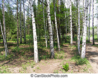white birch trees in the park