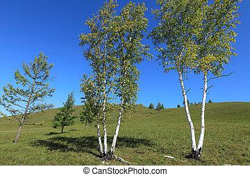 White birch under blue sky
