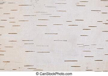 white birch - white bark with of birch as background
