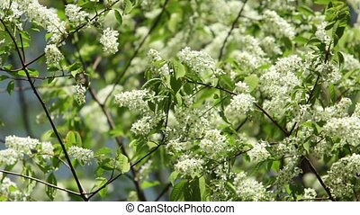 White bird cherry flowers
