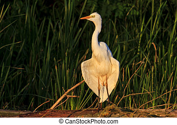 white bird great egret Ardea alba dry wings in the morning...