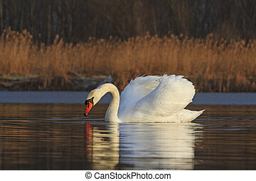 White Bird on the lake on a sunny day