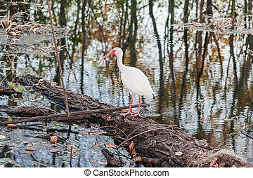 White bird with long red beak in Brazos Bend State Park near...