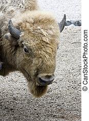 White bison - Light colored American bison (Bison bison)
