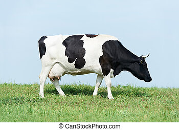 White black milch cow on green grass pasture