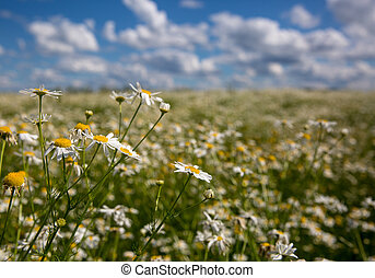 White blloming chamomile on blue sky background