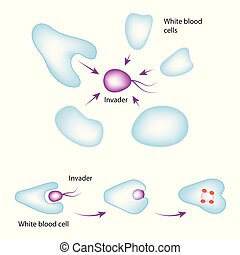 White blood cells - Human immune system. White blood cell...