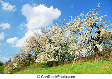 White blooming apple trees in springtime