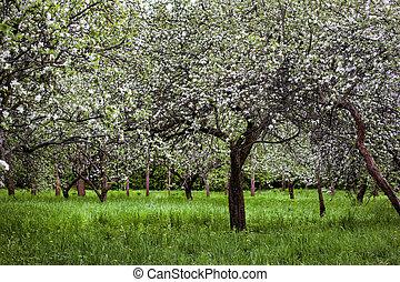 blooming branch of apple tree in spring