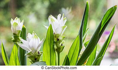 White blooming Curcuma