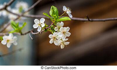 White blooming fruit tree