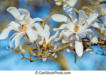 White blooming magnolia on a branch against the blue sky. Shallow depth of field.