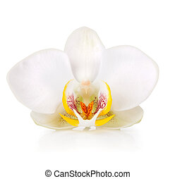 white blooming orchid isolated on white background