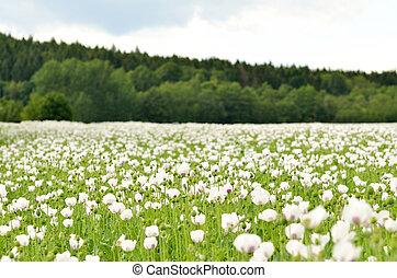White blooming poppy field
