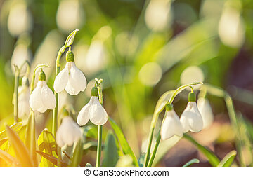 White blooming snowdrop folded or Galanthus plicatus with...