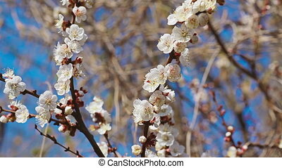 White blooming trees