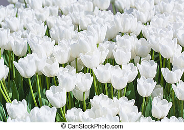 white blooming tulips in the spring garden