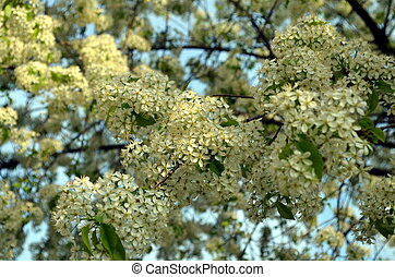 White blossoming spring flowers